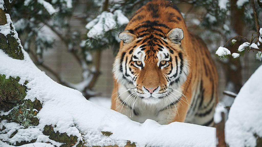 Tiger i sneen i Odense ZOO